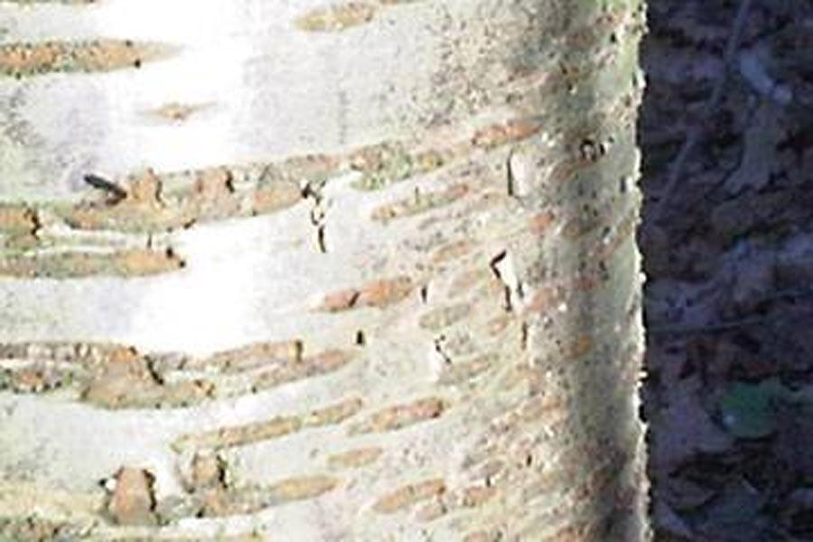 close up cherry bark trunk