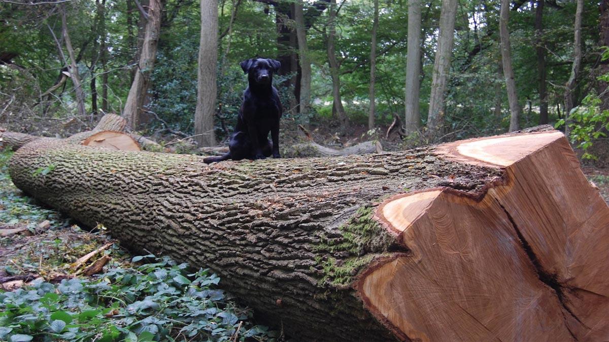 Dog on a wood log